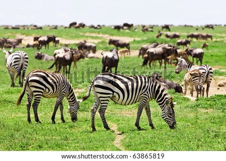 Zebras among a migrating herd of wildebeest in the Serengeti National Park, Tanzania