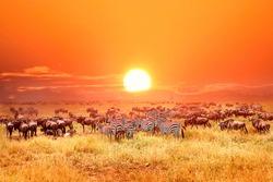 Zebras and antelopes in Serengeti national park. Sunset. Tanzania. Africa.