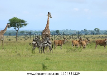 Zebras and giraffes walking in the savannah in Mukumi National Park during the rain season with some acacia trees around, Tanzania, Africa #1124651339