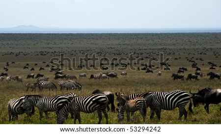 Zebras and wildebeest on a plain in eastern africa during the great migration