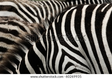 Zebras are African equids best known for their distinctive black and white stripes. Their stripes come in different patterns unique to each individual.