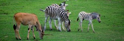 Zebras are several species of African equids and the common eland, also known as the southern eland or eland antelope