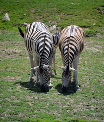 Zebras are several species of African equids (horse family) united by their distinctive black and white stripesMother and foal zebras are several species of African equids (horse famil