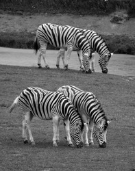 Zebras are several species of African equids (horse family) united by their distinctive black and white stripesMother and foal zebras are several species of African equids horse family