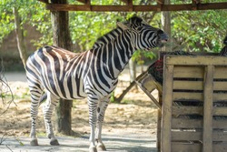 Zebras are several species of African equids,horse family, united by their distinctive black-and-white striped coats