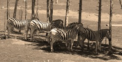Zebras are several species of African equids (horse family) united by their distinctive black and white stripes