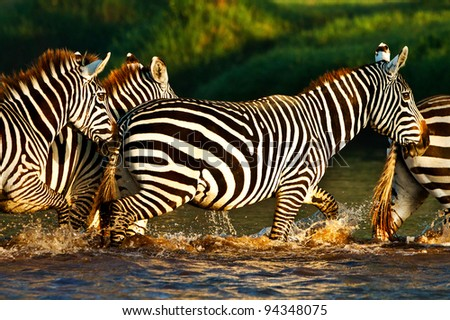 Zebras crossing a river in the Lake Nakuru National Park, Kenya