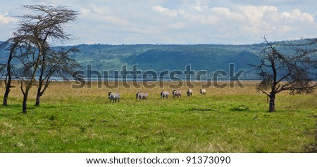 Zebras crossing meadow in Lake Nakuru National Park - Kenya
