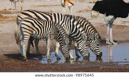 Zebras drinking at the water hole
