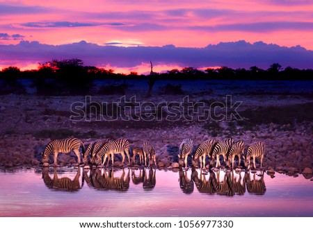 Zebras drinking at waterhole during sunset and sunrise. Etosha national park safari game drive in Namibia. Safari animals, game drive in Africa. Travel journey in South Africa, Botswana and Namibia.