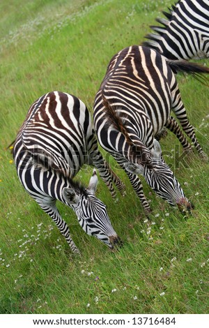 stock photo : zebras eating grass