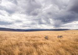 Zebras feeding in Ngorongoro Crater in Africa. Heavy rain clouds in the background.