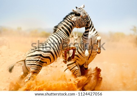 Zebras fighting in Etosha National Park #1124427056