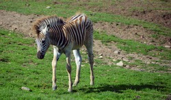 Zebras foal are several species of African equids (horse family) united by their distinctive black and white stripes