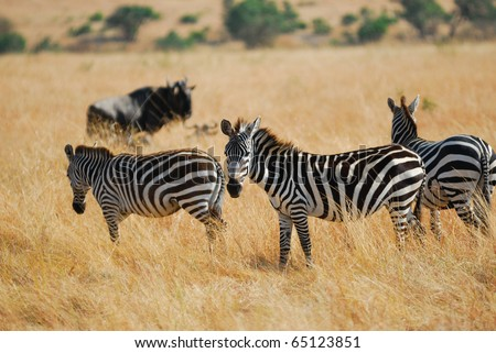 Zebras herd in the savannah, Masai Mara, Kenya