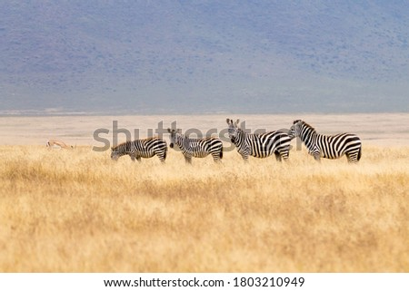 Zebras in a row on Ngorongoro Conservation Area crater, Tanzania. African wildlife Stock photo ©