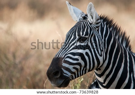 Zebras in Africa - stock photo
