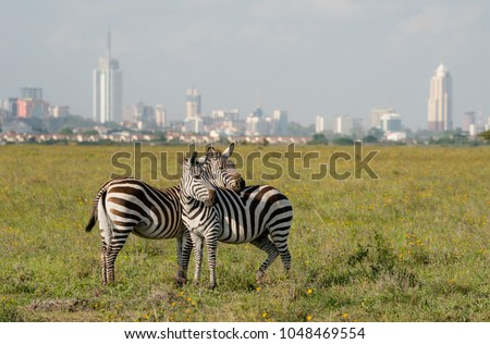Zebras in Nairobi national park with Nairoby city in the background. Zebra puts head on back of other zebra in Nairobi, Kenya.
