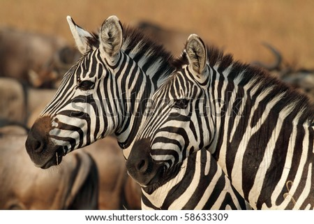 Zebras in soft afternoon light, Serengeti, Tanzania