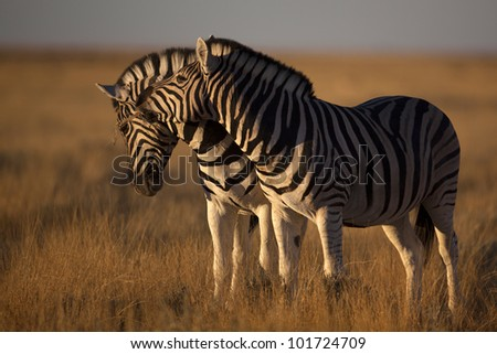 Zebras in soft sunset light