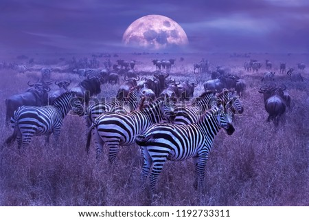 Zebras in the African savannah. Night lunar African landscape. Wildlife of Africa. stock photo