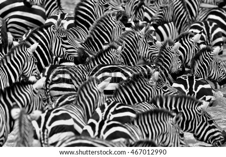 Stock Photo Zebras in the big herd during the great migration in masai mara, wild africa, african wildlife, animals in their nature habitat
