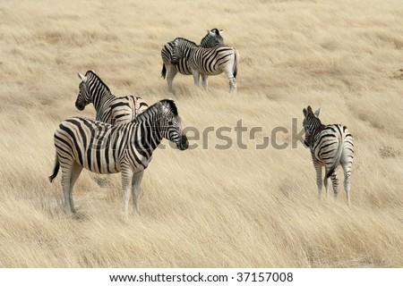 Zebras In The Savannah:  Namibia - Africa