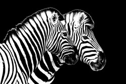 Zebras on black background isolated close up side view, two zebra head portrait in profile, black and white art photography, striped animal pattern design, african wildlife nature monochrome wallpaper