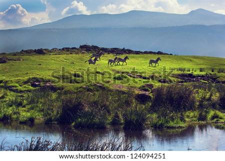 Zebras on green grassy hill. Ngorongoro crater, Tanzania, Africa