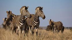 zebras on the lookout - Kruger national park