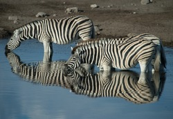 zebras or equus burchelli drinking water from watering hole stripes reflected in the blue water sht in Etrosha National Wildlife Game Preserve in Namibia Africa on holiday on African jeep safari