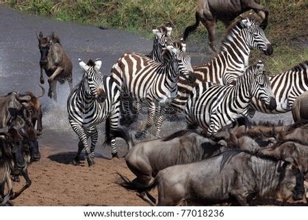 Zebras participating in the wildebeest migration crossing the Mara River, Serengeti National Park, Tanzania, East Africa