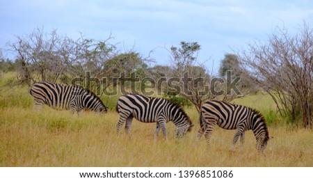 Zebras photographed at Kruger National Park in South Africa.