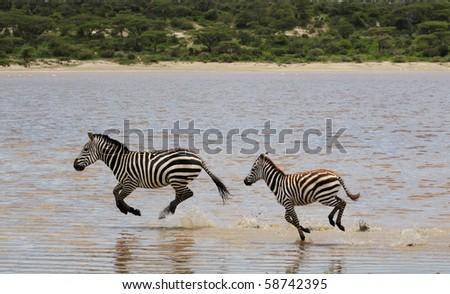 horses running in water. Horses Running In Water.