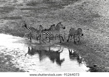 Zebras Serengeti Tanzania. The Serengeti hosts the largest mammal migration in the world, which is one of the ten natural travel wonders of the world.