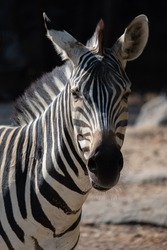 Zebras stripes perhaps serve to dazzle and confuse predators and biting insects, or to control the animal's body heat.