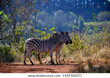 Zebras, Swaziland, Southern Africa, Africa, Southern Africa, Africa #1469366051