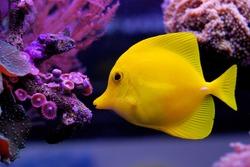 Zebrasoma flavescens - Yellow Tang