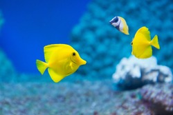 Zebrasoma flavescens - yellow tang - saltwater fish