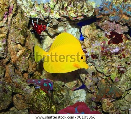 Zebrasoma in salt water aquarium