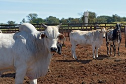 Zebu cattle, of the Nelore breed, confined in the corral. Sao Paulo state, Brazil