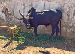 Zebu cow bull ox, Madagascar Africa. Humped cattle livestock. Horned Zebu is one of the symbols of Madagascar. Madagascar Zebu is  tri-purpose breed, kept for meat, milk and work.