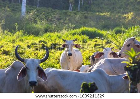 Zebu cow cattle in a farm in the Costa Rica  #1009211329