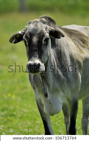 Zebu, sometimes known as humped cattle, indicus cattle, Cebu or Brahmin cattle are a type of domestic cattle originating in South Asia, particularly the Indian subcontinent.