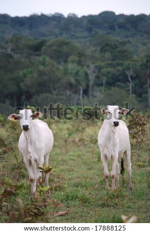 Zebu, the predominant cattle in Brazil, at a recently logged ranch on the edge of the Amazon rainforest. Expanding cattle ranches are the biggest cause of deforestation in Brazil.