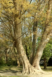 Zelkova serrata, Japanese elm -  deciduous tree, native to Japan, Korea, eastern China and Taiwan.  The bark is grayish white to grayish brown. The Horticultural Garden or Landbohøjskolens Have.
