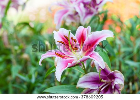 Zephyranthes flower, close up  Common names for species in this