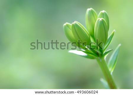 Zephyranthes lily flower bud. Common names for species in this genus include fairy lily, rainflower, zephyr lily, magic lily, Atamasco lily, madonna lily and rain lily. Burgeon - Shutterstock ID 493606024