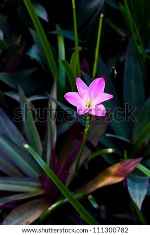 zephyranthes lily flower (rain lily ,fairy lily)
