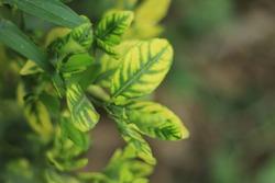 Zinc deficiency of citrus, Trace element deficiency on lime leaf